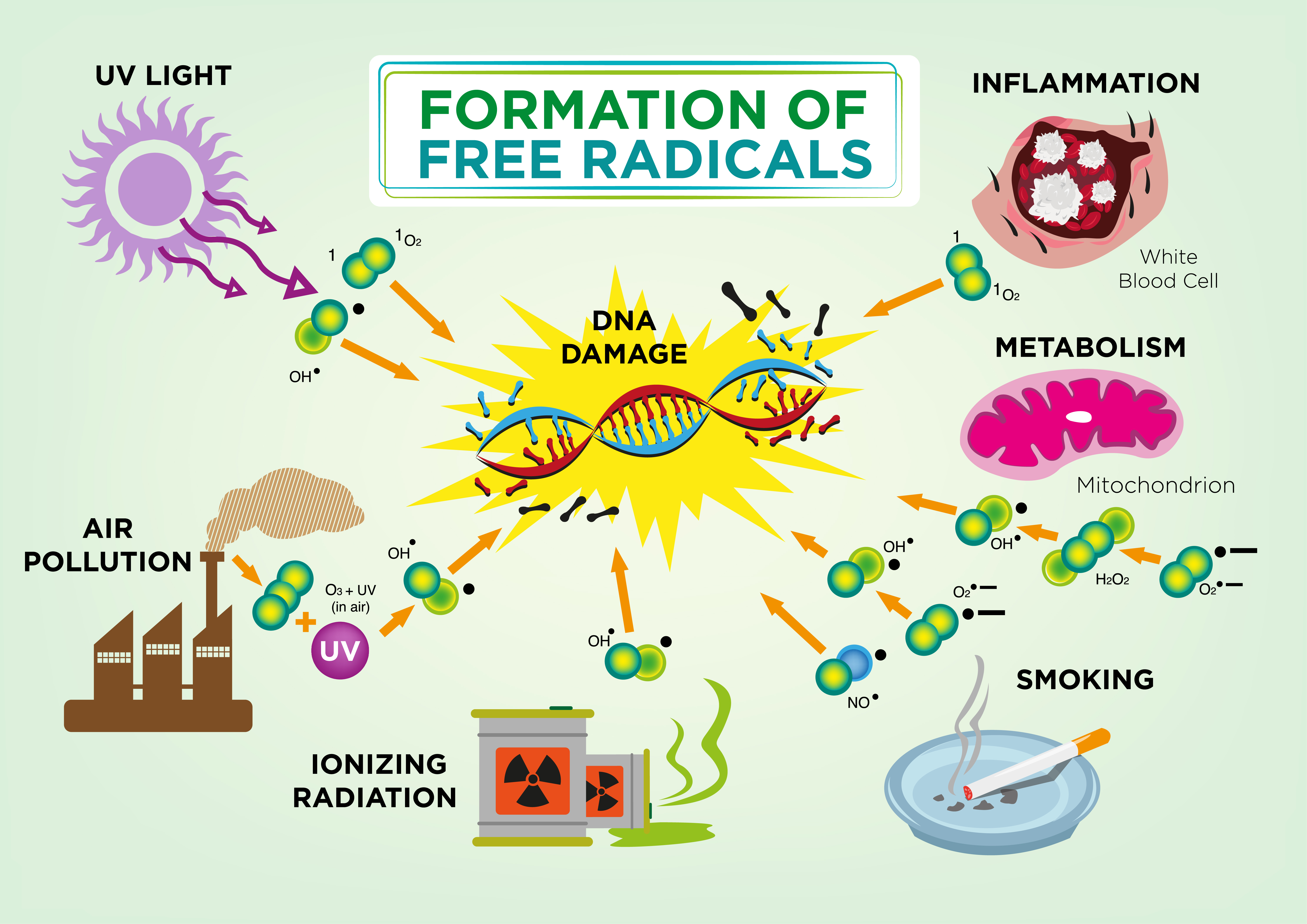 What do free radicals have to do with aging?